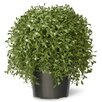 National Tree Co. Cedar Desk Top Plant in Pot