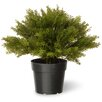 National Tree Co. Juniper Globe Desk Top Plant in Pot