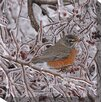 West of the Wind Outdoor Canvas Art Robin in Ice Wrapped Photographic Print on Canvas