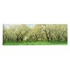 iCanvas Panoramic Rows of Cherry Tress in an Orchard, Minnesota Photographic Print on Canvas