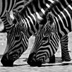 """Selections by Chaumont """"Out for a Drink"""" by Charlie Hamilton James Photographic Print"""