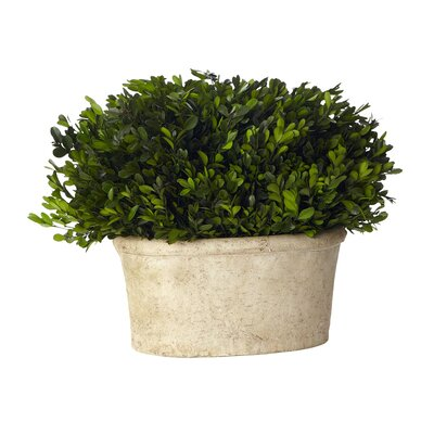 Sage & Co. Boxwood Desk Top Plant in Planter
