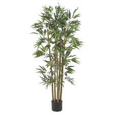 Multi Bambusa Bamboo Tree in Planter