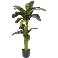 Banana Tree in Pot