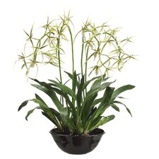 """32"""" Brassia Orchid Plant with Terra Cotta Bowl"""