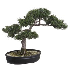 Re-Shippable Box Cedar Bonsai Desk Top Plant in Planter
