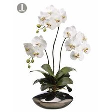 Phalaenopsis Orchid Plant in Ceramic Pot
