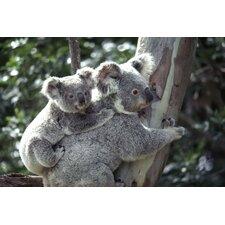 National Geographic Koala Bears Wall Mural
