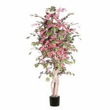 Ridge Fir Capensia Executive Tree in Pot