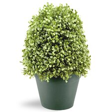 Green Desk Top Boxwood Tree in Pot