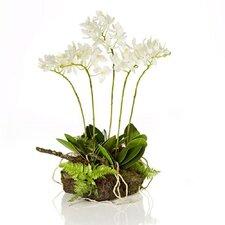 Fleur Mini Phalaenopsis Drop-In