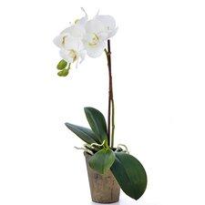 Fleur Phaleonopsis Plant in Terracotta Pot