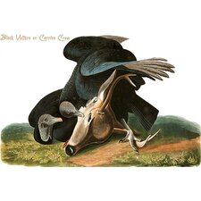 'Black Vulture or Carrion Crow' by John James Audubon Graphic Art