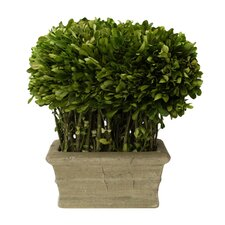 Boxwood Loaf Desk Top Plant in Planter