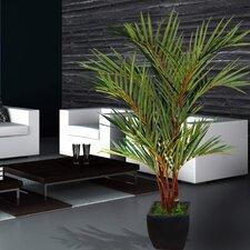 Lipstick Palm Tree in Planter