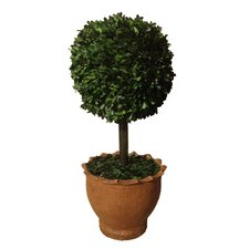 """29"""" Preserved Boxwood Ball in Clay Pot"""