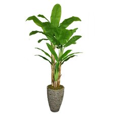 Tall Banana Tree in Planter
