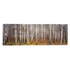 Panoramic Birch Trees in a Forest Photographic Print on Canvas