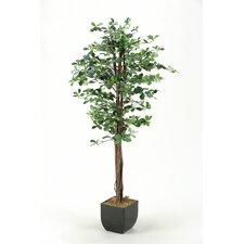 Black Olive Tree in Planter