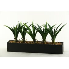 Lily Grass in Rectangular Planter