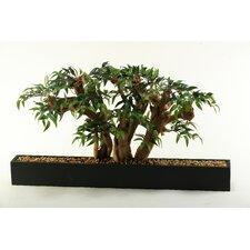 Ruscus Bonsai Tree in Planter