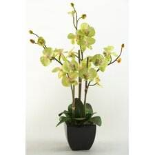 Phael Orchids Floor Plant in Planter
