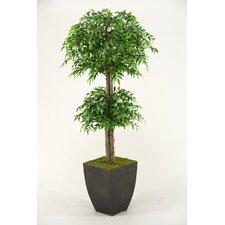 Ruscus Topiary in Planter