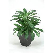 Birdnest Palm Floor Plant in Pot