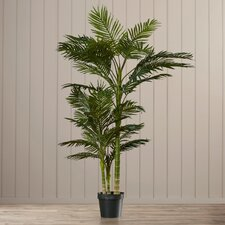 Brookings Cane Palm Tree in Pot I