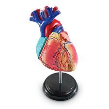 Model Heart Anatomy