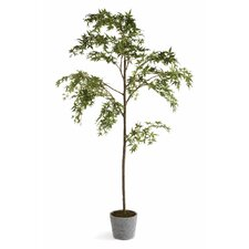 Conservatory 7' Maple Tree in Pot