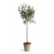 Conservatory Olive Tree in Pot