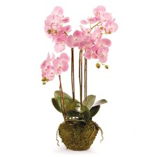 Drop-In Phalaenopsis